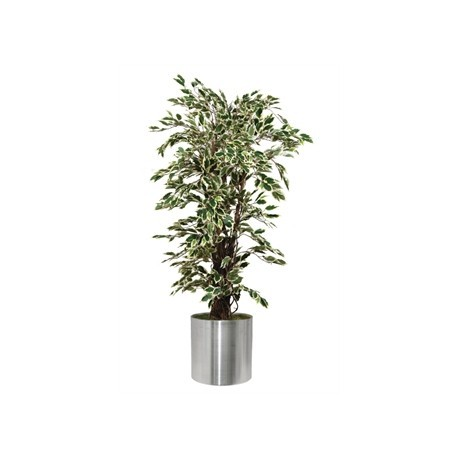 Ficus Exotica Variagated 1500mm